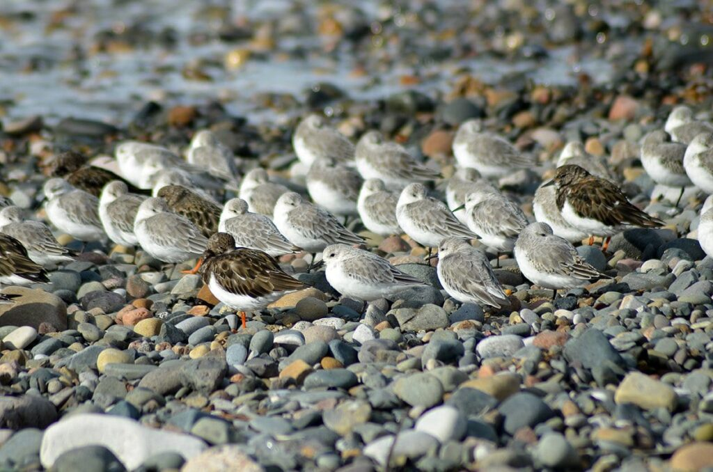 Birds resting on the beach - sanderlings and turnstones